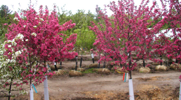 Purple Prince Crabapple opt